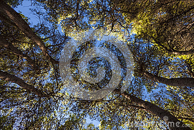 Śródziemnomorski las