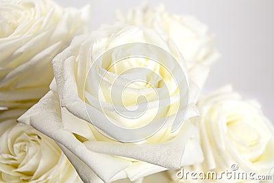 Róże biały