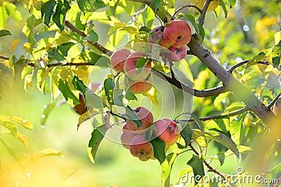 Read Apples At Harvest
