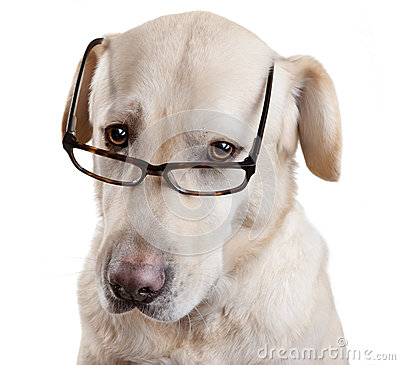 Free Reading Glasses Funny Dog Stock Images - 25871384