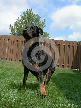 Ready for Action - Rottweiler