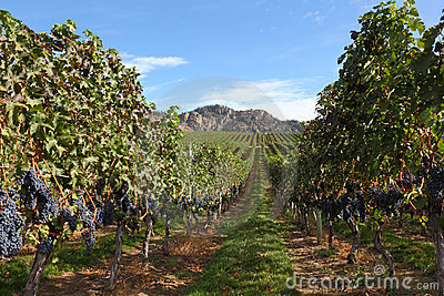 Ready for Harvest, Okanagan Vineyard