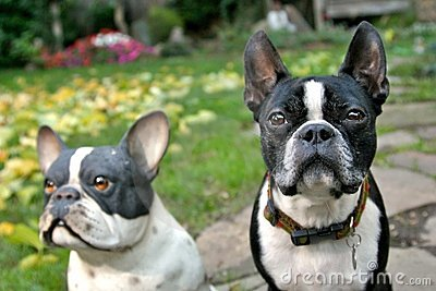 The Real Boston Terrier