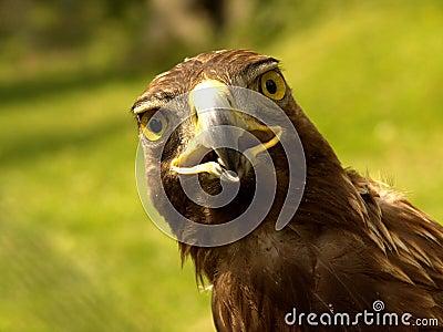 Real Eagle