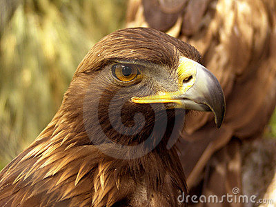 Real eagle front