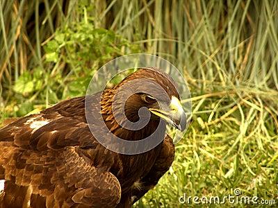 Real Eagle hunting