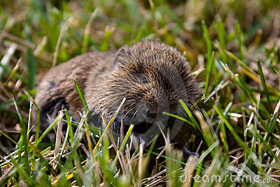 Real mouse in the grass