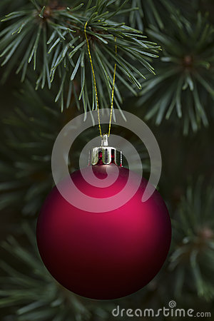 Real Noble Fir with hanging red ornament