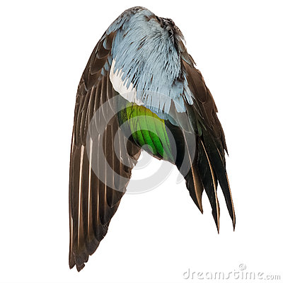 Free Real Wild Duck Bird Wing Angel Brown Grey Green Blue White Background Stock Photography - 88854112
