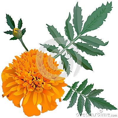Free Realistic Illustration Of Orange Marigold Flower (Tagetes) Isolated On White Background. One Flower, Bud And Leaves. Royalty Free Stock Photography - 50005527
