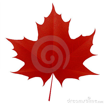 Realistic red maple leaf on white background