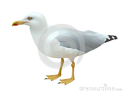 Realistic seagull sea bird standing on its feet on a white background Vector Illustration