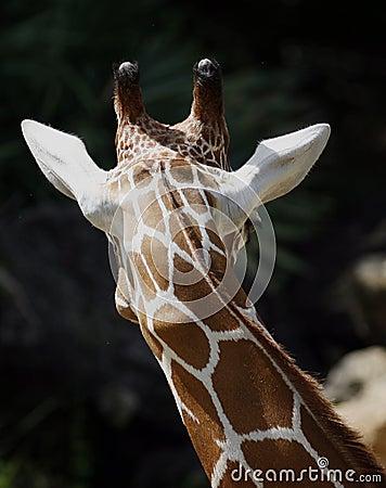 Rear head of giraffe