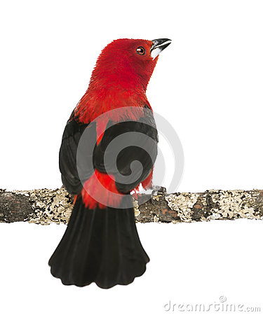 Rear view of a Brazilian Tanager tweeting perched on a branch