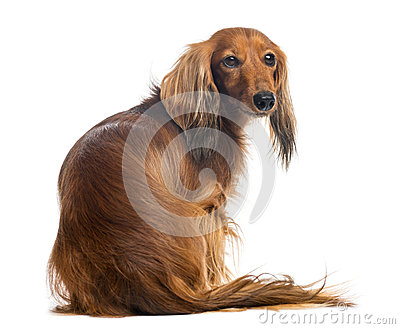 Rear view of a Dachshund, 4 years old, sitting