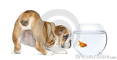 Rear view of an English Bulldog Puppy, 2 months old, staring at goldfish in a bowl aquarium