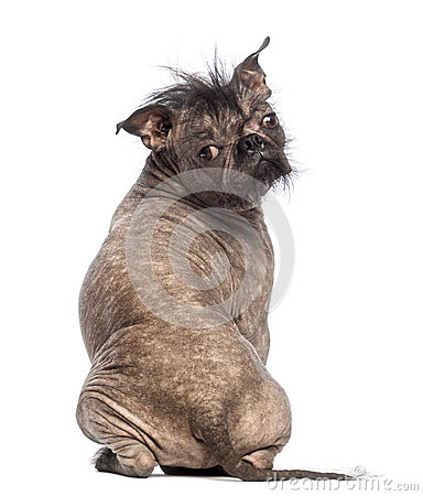 Rear view of a Hairless Mixed-breed dog, mix between a French bulldog and a Chinese crested dog, sitting