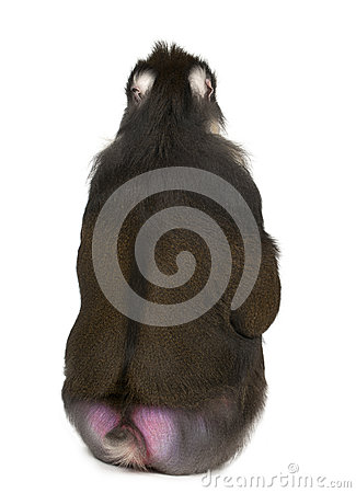 Rear view of Mandrill sitting