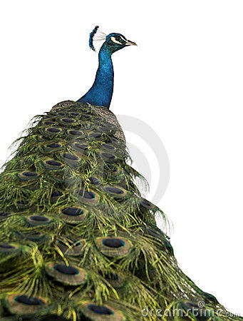 Free Rear View Of A Male Indian Peafowl Stock Photography - 14539632