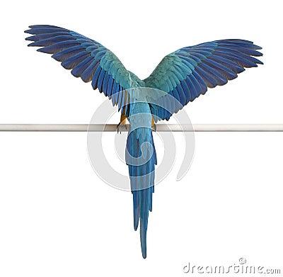 Free Rear View Of Blue And Yellow Macaw, Ara Ararauna Stock Photos - 17255693