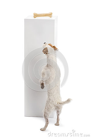 Rear view of a Parson Russell terrier standing