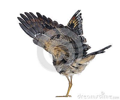 Rear view of a Sunbittern - Eurypyga helias