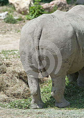 Rear view of a White Rhinoceros