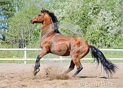 Rearing bay stallion of Ukrainian riding breed