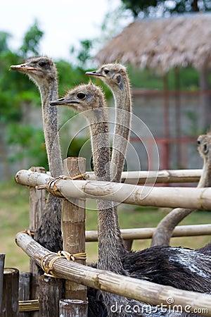 Rebanho da avestruz