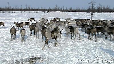 Rebanho dos cervos na tundra filme