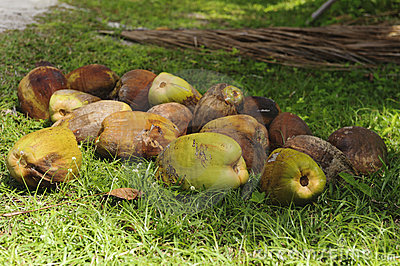Recently harvested coconuts