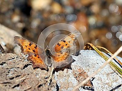 Reclinación de la mariposa de coma del sátiro