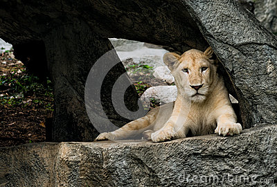 Reclinación de la leona