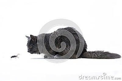 Recorte de un gato de Coon principal que está al acecho