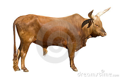 Recorte del toro de Watusi