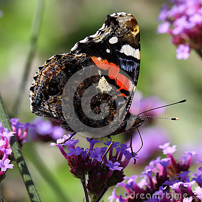 Free Red Admiral Butterfly Vanessa Atalanta Stock Images - 75421074