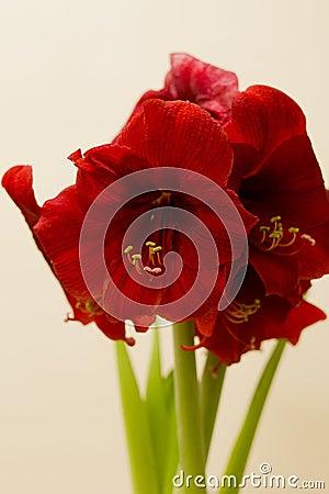 Free Red Amaryllis Christmas Flower Royalty Free Stock Images - 48957699