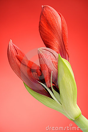 Free Red Amaryllis Flower Royalty Free Stock Photography - 12558127