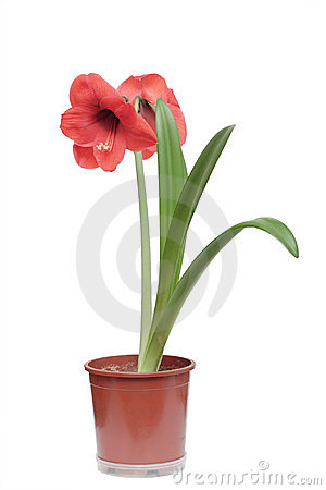 Red amaryllis flower isolated on white