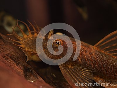 Red Ancistrus Catfish