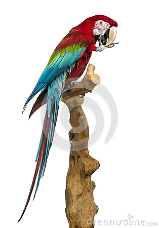 Free Red-and-green Macaw Perched On A Branch And Cleaning Itself Stock Photography - 41995272