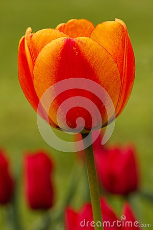Free Red And Orange Tulip Portrait Stock Images - 103805904