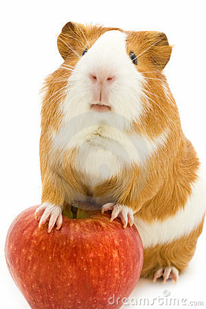 Free Red And White Guinea Pig And Red Apple Royalty Free Stock Photo - 21549675