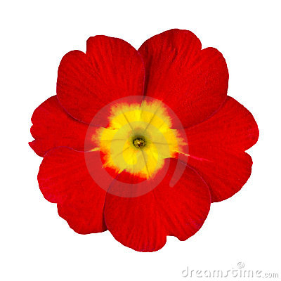 Free Red And Yellow Primrose Flower Isolated Royalty Free Stock Images - 19010809
