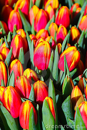 Free Red And Yellow Tulips Blossoming Royalty Free Stock Photo - 23562125