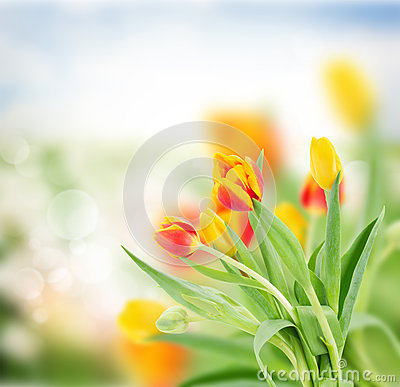 Free Red And Yellow Tulips In Garden Royalty Free Stock Photography - 48324127