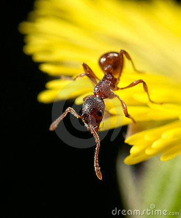 Red ant on a yellow flower