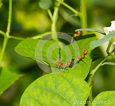 Free Red Ants And Insect Stock Photo - 30577570