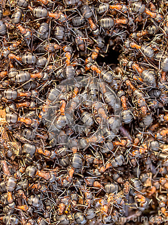 Free Red Ants Around The Entrance Of Their Nest Royalty Free Stock Photography - 73350077
