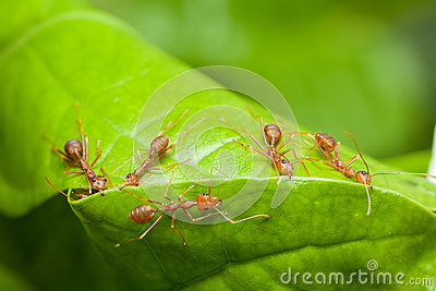 Red ants help together to build home, teamwork concept